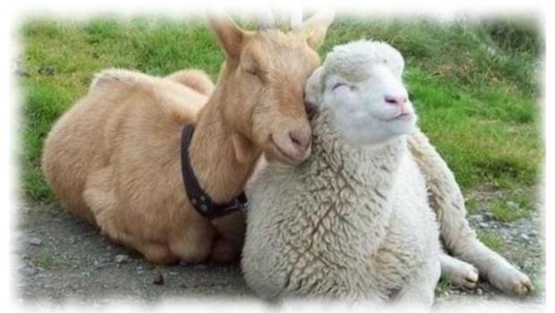 Comment distinguer une chèvre d'un mouton ?