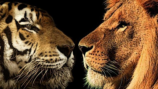 Tigre vs Lion
