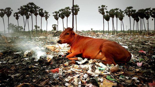 Les vaches de Delhi